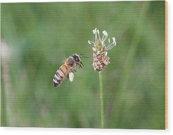 Honeybee And English Plantain Wood Print