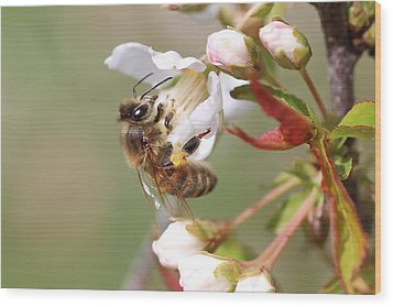 Honeybee On Cherry Blossom Wood Print