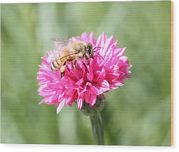 Honeybee On Pink Bachelor's Button Wood Print