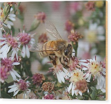 Honeybee Sipping Nectar On Wild Aster Wood Print