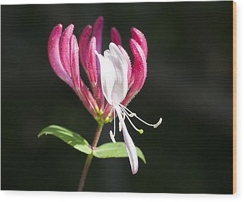 Honeysuckle Wood Print by Richard Thomas