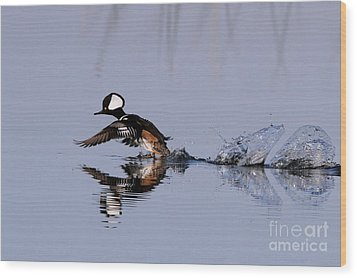 Hooded Merganser Take Off Wood Print by Jennifer Zelik