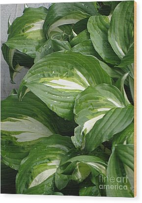 Hosta Leaves After The Rain Wood Print by Christina Verdgeline