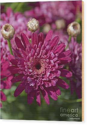 Hot Pink Chrysanthemum Wood Print