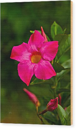 Hot Pink Dipladenia Wood Print by Karol Livote