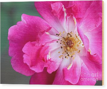 Hot Pink Rose Wood Print by Sabrina L Ryan
