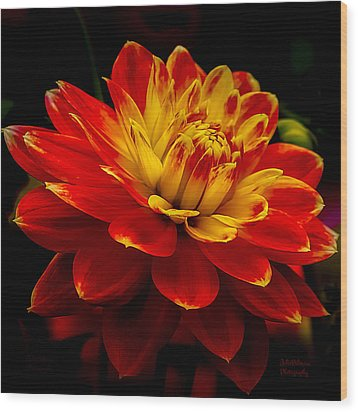 Hot Red Dahlia Wood Print