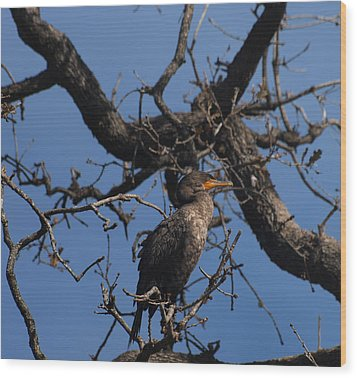 Houston Wildlife Double Crested Cormorant  Wood Print by Joshua House