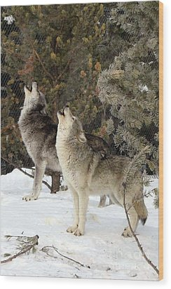717a Howling Wolves  Wood Print by NightVisions