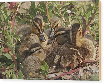Wood Print featuring the photograph Huddled Ducklings by Kate Brown