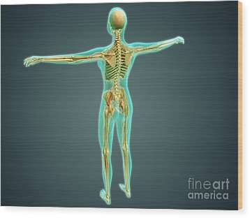 Human Body Showing Skeletal System Wood Print by Stocktrek Images