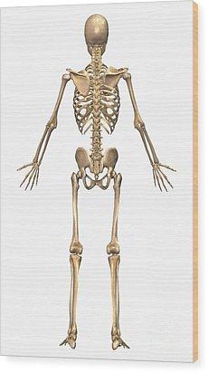 Human Skeletal System, Back View Wood Print by Stocktrek Images