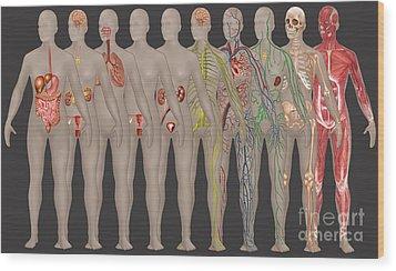 Human Systems In The Female Anatomy Wood Print by Gwen Shockey