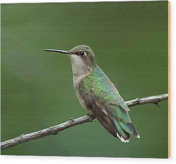 Hummingbird At Rest Wood Print