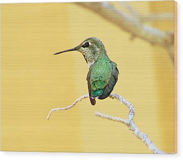 Hummingbird At Rest Wood Print by Pamela Patch