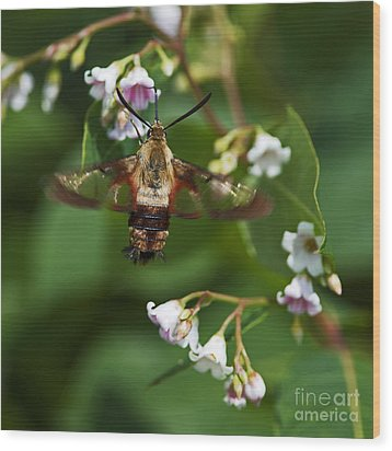 Hummingbird Clearwing... Wood Print by Nina Stavlund