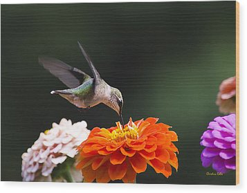 Wood Print featuring the photograph Hummingbird In Flight With Orange Zinnia Flower by Christina Rollo