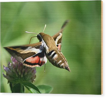 Hummingbird Moth From Behind Wood Print