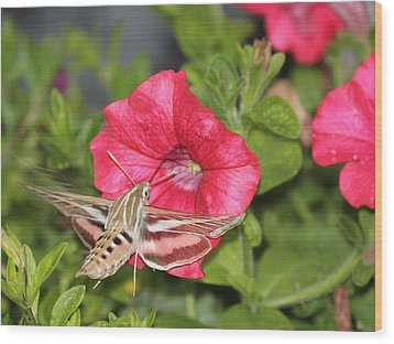 Hummingbird Moth Wood Print by Tiffany Erdman