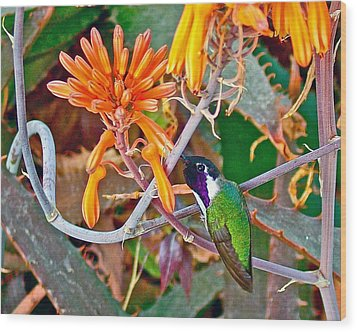 Hummingbird On Aloe In Living Desert In Palm Desert-california Wood Print by Ruth Hager