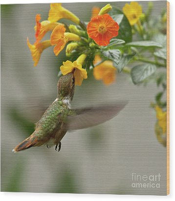 Hummingbird Sips Nectar Wood Print