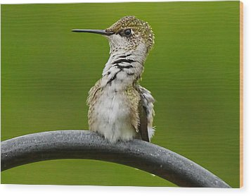 Hummingbird Stretching  Wood Print by Alan Hutchins
