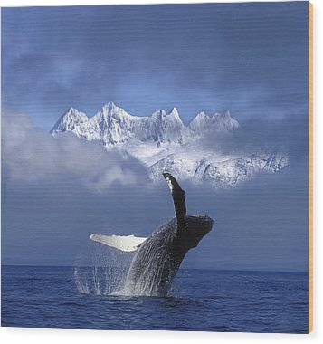 Humpback Whale Breaches In Clearing Fog Wood Print by John Hyde