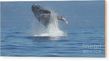 Humpback Whale Breaching Wood Print by Bob Christopher