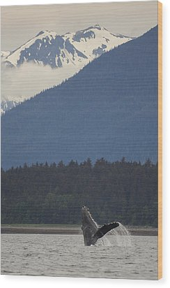 Humpback Whale In Alaska 73a6815  Wood Print by David Orias