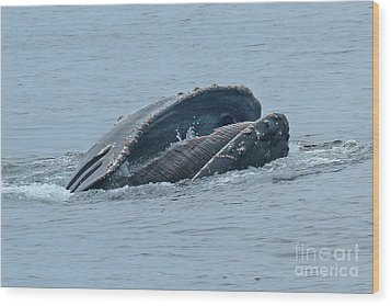 Wood Print featuring the photograph Humpback Whale  Lunge Feeding Monterey Bay 2013 by California Views Mr Pat Hathaway Archives