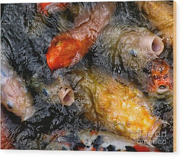 Hungry Koi Fish Wood Print by John Swartz