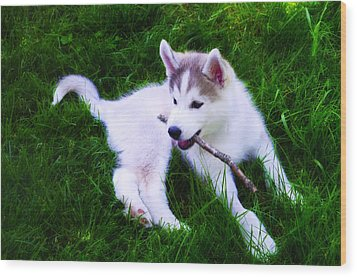 Huskie Pup Playing Fetch Wood Print by Bill Cannon