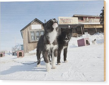 Husky Sled Dog Puppies Wood Print by Science Photo Library