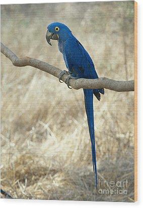 Hyacinth Macaw Wood Print by Hans Reinhard