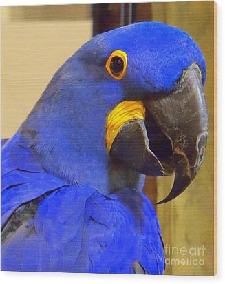 Hyacinth Macaw Portrait Wood Print by Lingfai Leung