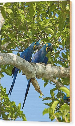 Hyacinth Macaws Brazil Wood Print by Gregory G Dimijian MD