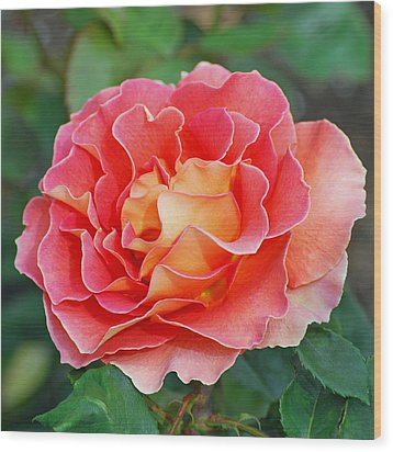 Hybrid Tea Rose  Wood Print by Lisa Phillips