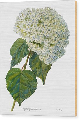 Hydrangea Aborescens Wood Print by Janet  Zeh