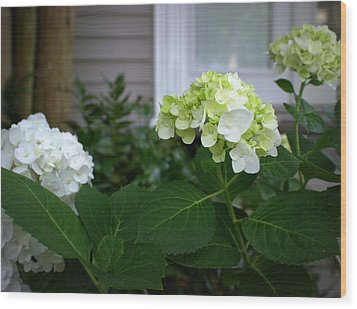 Hydrangeas IIi Wood Print by Beth Vincent