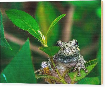 Hyla Versicolor Wood Print by Rob Sellers