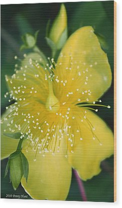 Hypericum  Wood Print by Penny Hunt