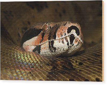 Hypo Colombian Boa Wood Print by Nigel Downer