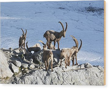 Ibex By A Glacier Wood Print by Science Photo Library