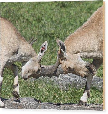 Ibex Doing Battle Wood Print by John Telfer
