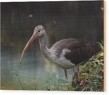 Ibis Cute Face Wood Print