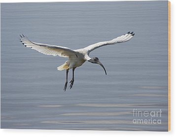 Ibis In Flight Wood Print