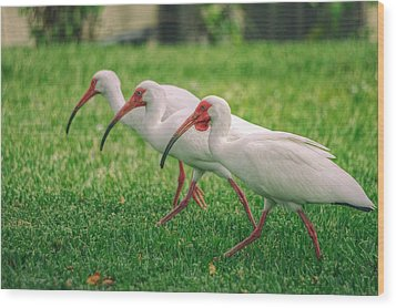 Ibis Lawn Service Wood Print by Dennis Baswell