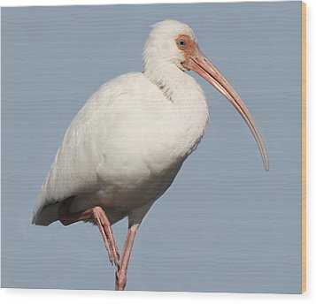 Ibis Up Close Wood Print by Paulette Thomas