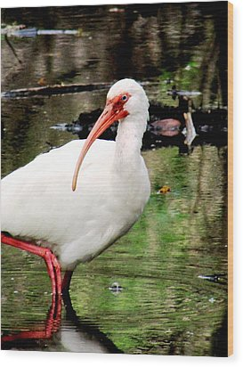 Ibis Wood Print by Will Boutin Photos