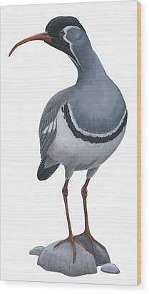 Ibisbill Wood Print by Anonymous